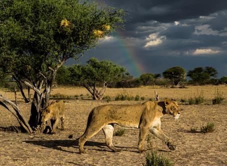 Photo Story - Lions of the Kalahari