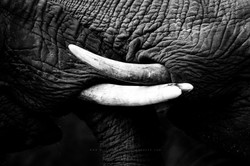 Tusks and textures