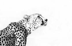 High-key cheetah