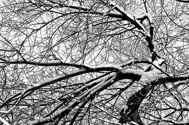 American Elm with Snow