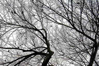 Starlings in American Elm