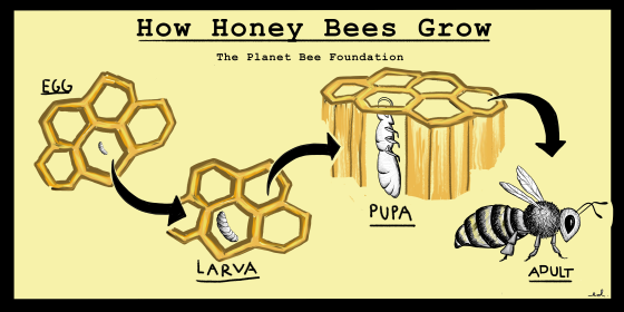 how-honey-bees-grow-poster-better.png