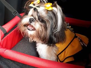 Como levar seu bichinho de estimação com segurança no carro