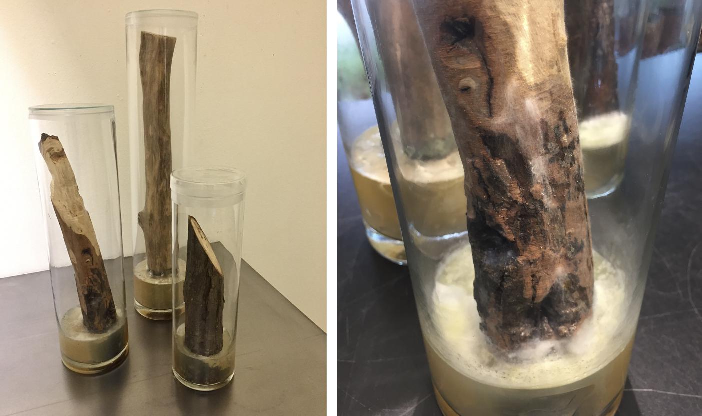 cría de bacterias de los troncos