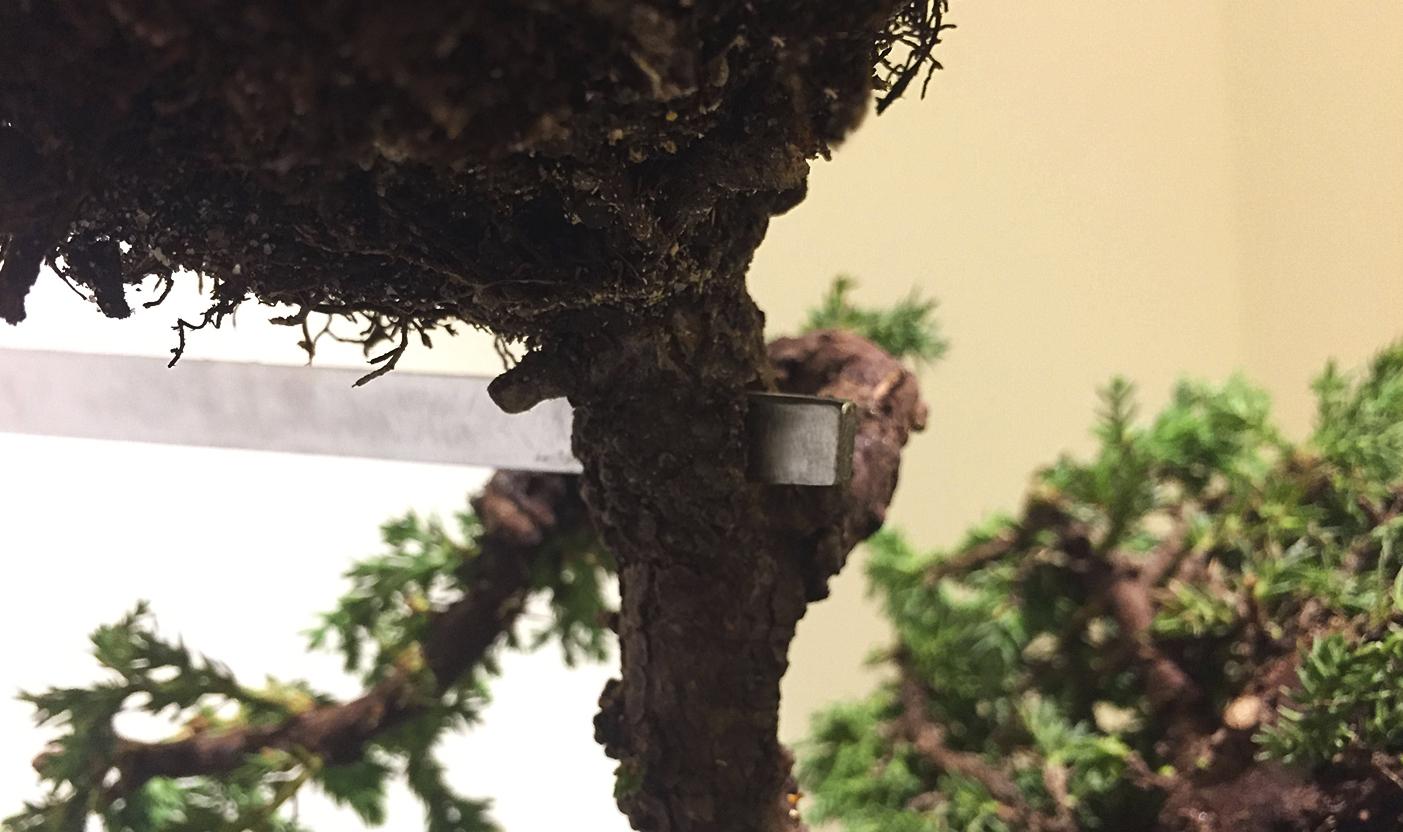 bonsai . detalle