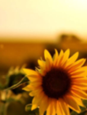 sunflower-photography-tumblr-wallpaper-1