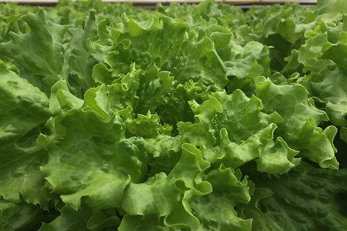 Green Leaf Hydroponic Lettuce