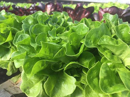Green Oak Leaf Hydroponic Lettuce