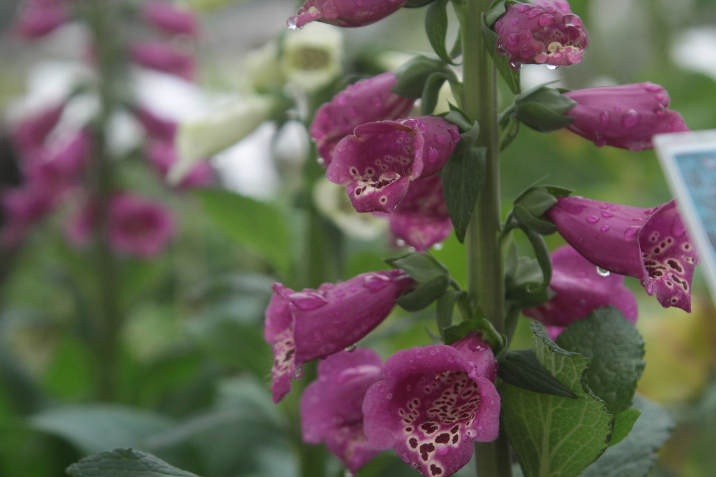 Purple Foxglove Close Up