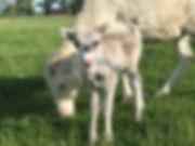 Reindeer Calf Twinkle