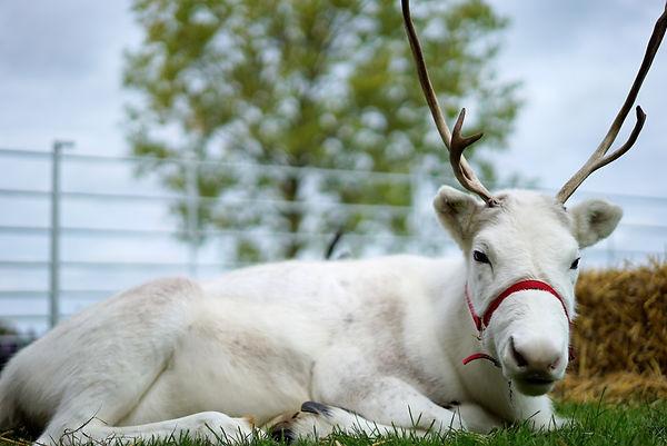 woodbine reindeer snowflake reindeer
