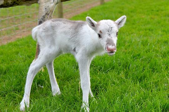 woodbine reindeer calf