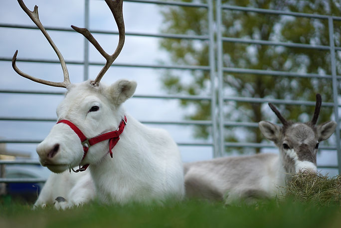 woodbine reindeer Snowflake and calf