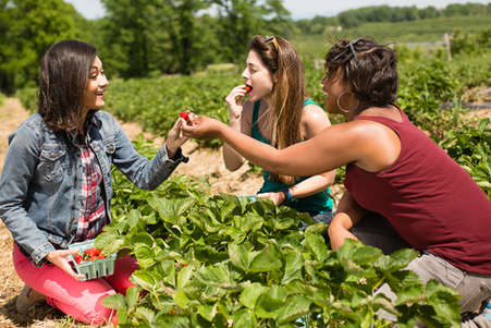 Young women eating strawberries in a flids in upstate New York