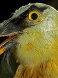 014-Bearded-Vulture-Head-Gypatus-Barbatu