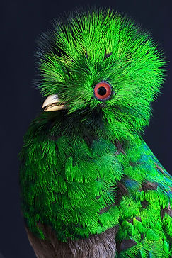 008-Resplendent-Quetzal-A-Pharomachrus-m