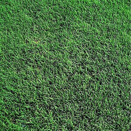 Tifway 419 Bermuda Grass.jpeg