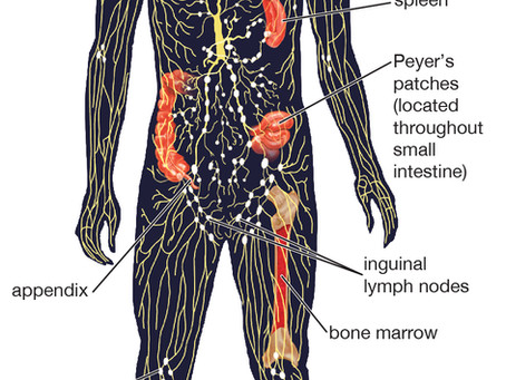 The Importance of your Lymphatic System