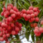 משתלת עצי פרי טרופיים