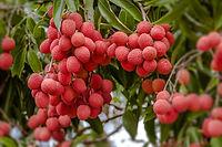 קניית עצי פרי במשתלה מקצועית