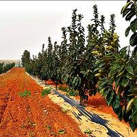 הרכבות עצי פרי לחקלאים