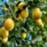 משתלת עצי פרי הדר