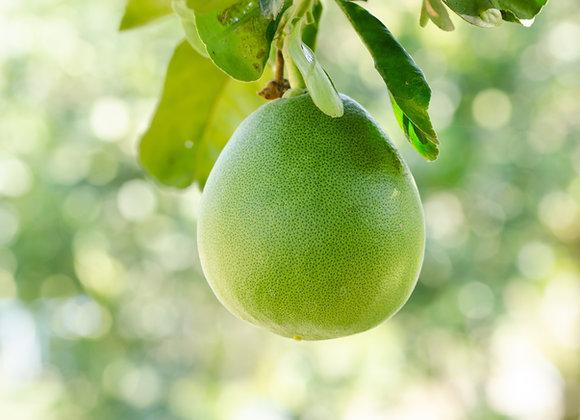עץ פומלה