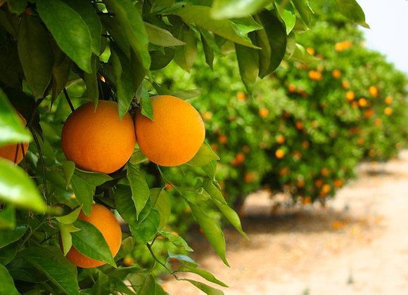 עץ תפוז