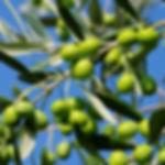 משתלת עצי פרי ארץ ישראליים