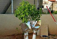 קניית עצי פרי - העץ לא מורכב