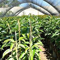 מכירת עצי פרי לחקלאים