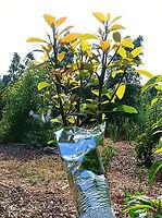 קניית עצי פרי - בדיקת אור