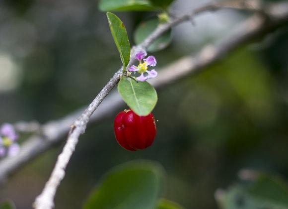 עץ אסרולה