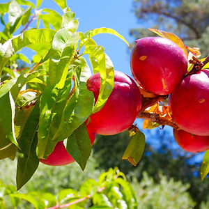 מכירת עצי פרי לגינות פרטיות