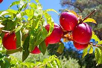 קניית עצי פרי לגינות פרטיות