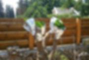 הרכבת עצי פרי בגינות פרטיות