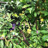 רב פרי - כמה זנים על אותו עץ