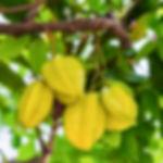 משתלת עצי פרי סובטרופיים