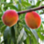 משתלת עצי פרי נשירים