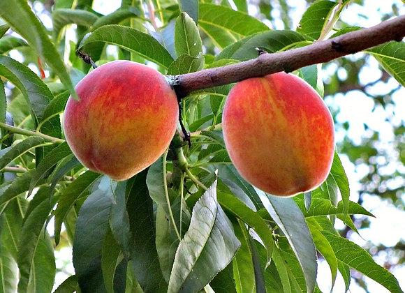 עץ אפרסק