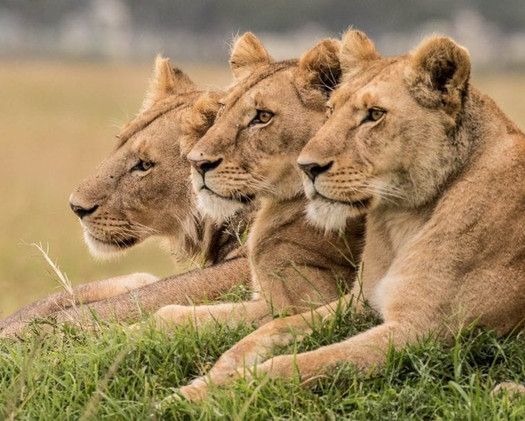 Lions in close proximity