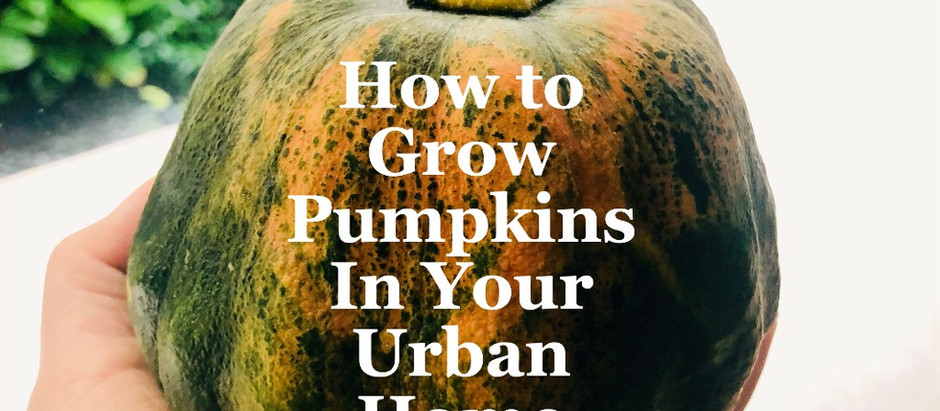 How to grow pumpkins in your urban home
