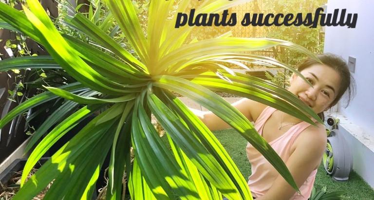 How to have flourishing pandan plants and propagate them