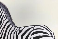2013_Zebra