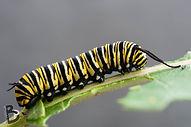 bphotoart-monarch-caterpillars-big-07.jp