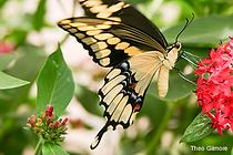 invertebrate_giant-swallowtail_Theo-Gilm