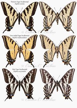 TigerSwallowtails.jpg