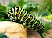 caterpillar-swallowtail.jpg
