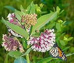 MonarchButterfly_CommonMilkweed.jpg