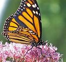monarch-public+domain.jpg